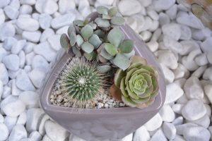 Plante d'intérieur succulente